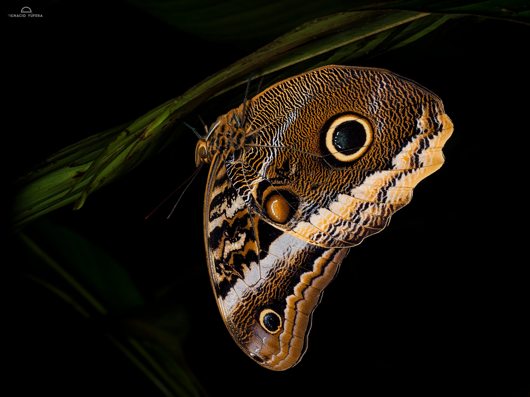 Calico butterfly (Atreus dionysos), resting at night, Fortuna, Panama, June