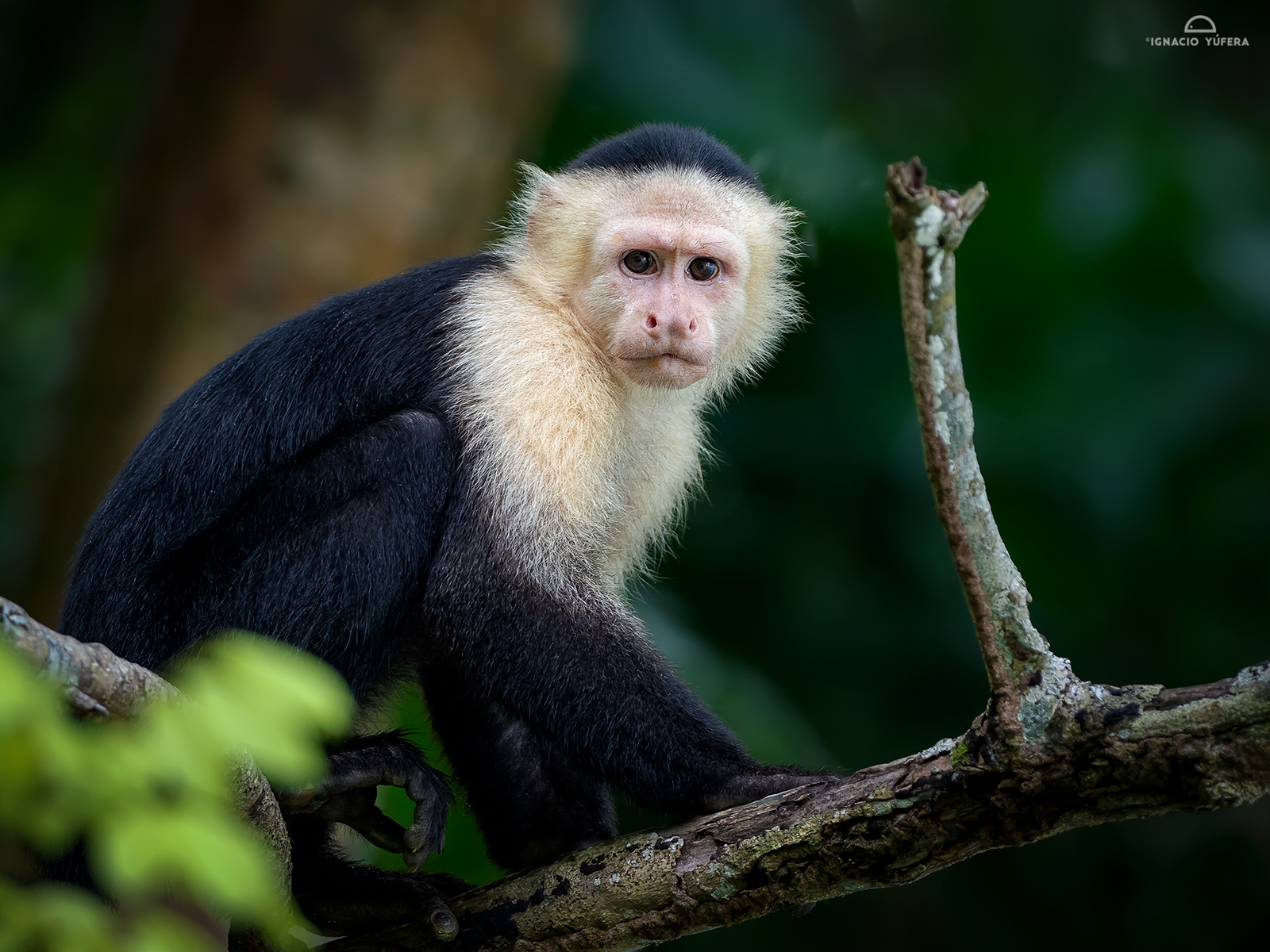 White-faced Capuchin (Cebus capucinus), Lake Gatún, Panama