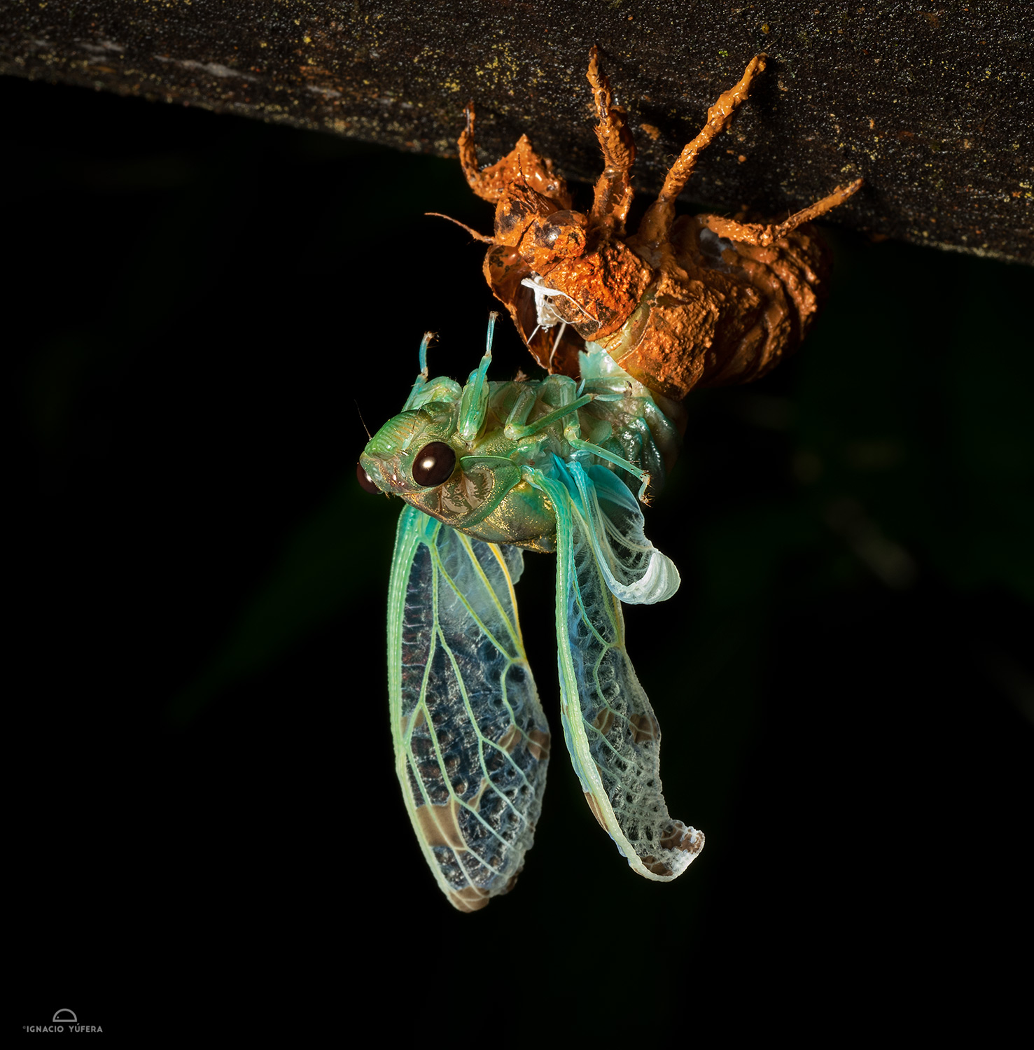 Cicada emerging from nymph exoskeleton, Nusagandi, Panama
