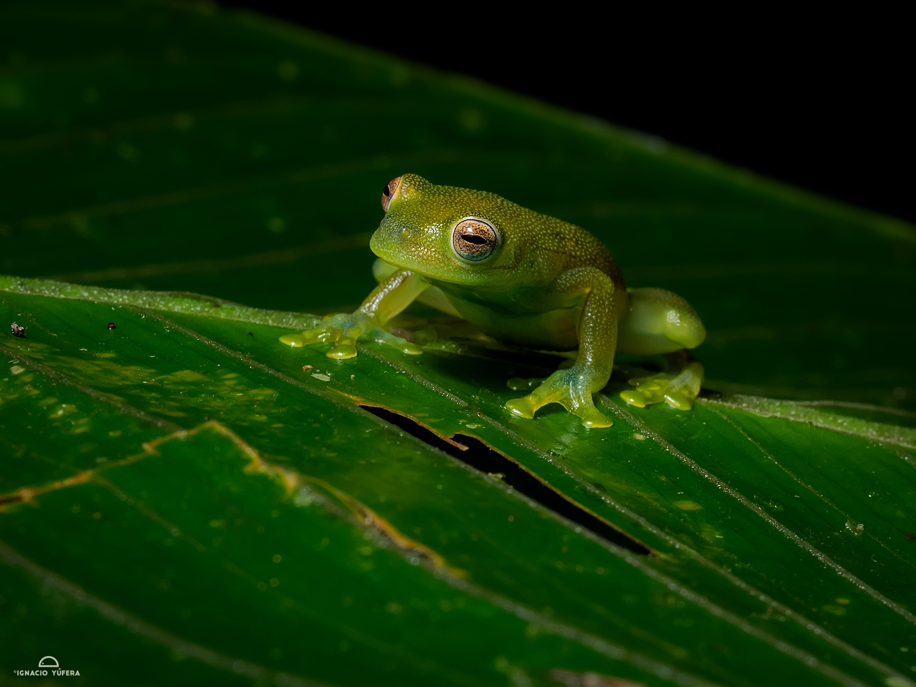 Granular Glass Frog (Cochranella granulosa), Fortuna, Panama, July