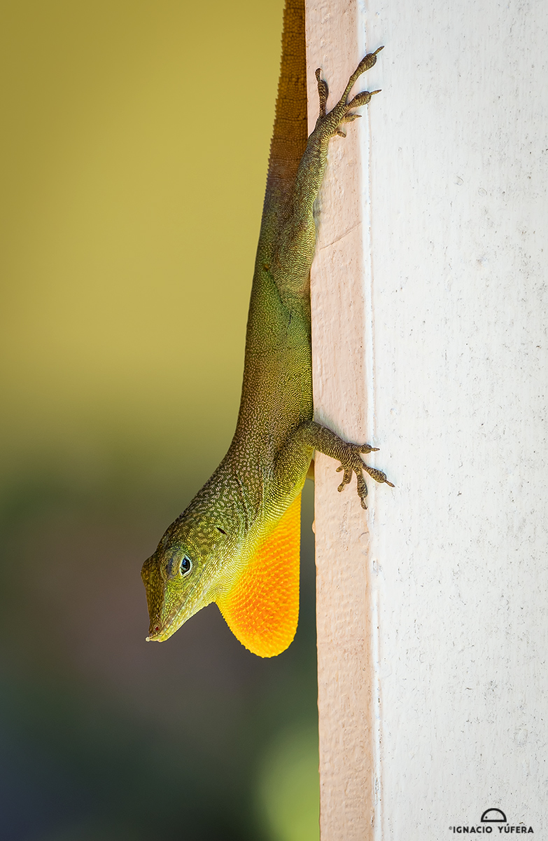 Turquoise Anole (Anolis grahami), male in display, Robin's Bay, Jamaica