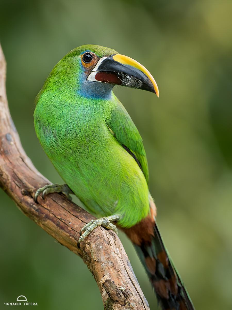 Emerald Toucanet (Aulacorhynchus prasinus), Cauca Valley, Colombia