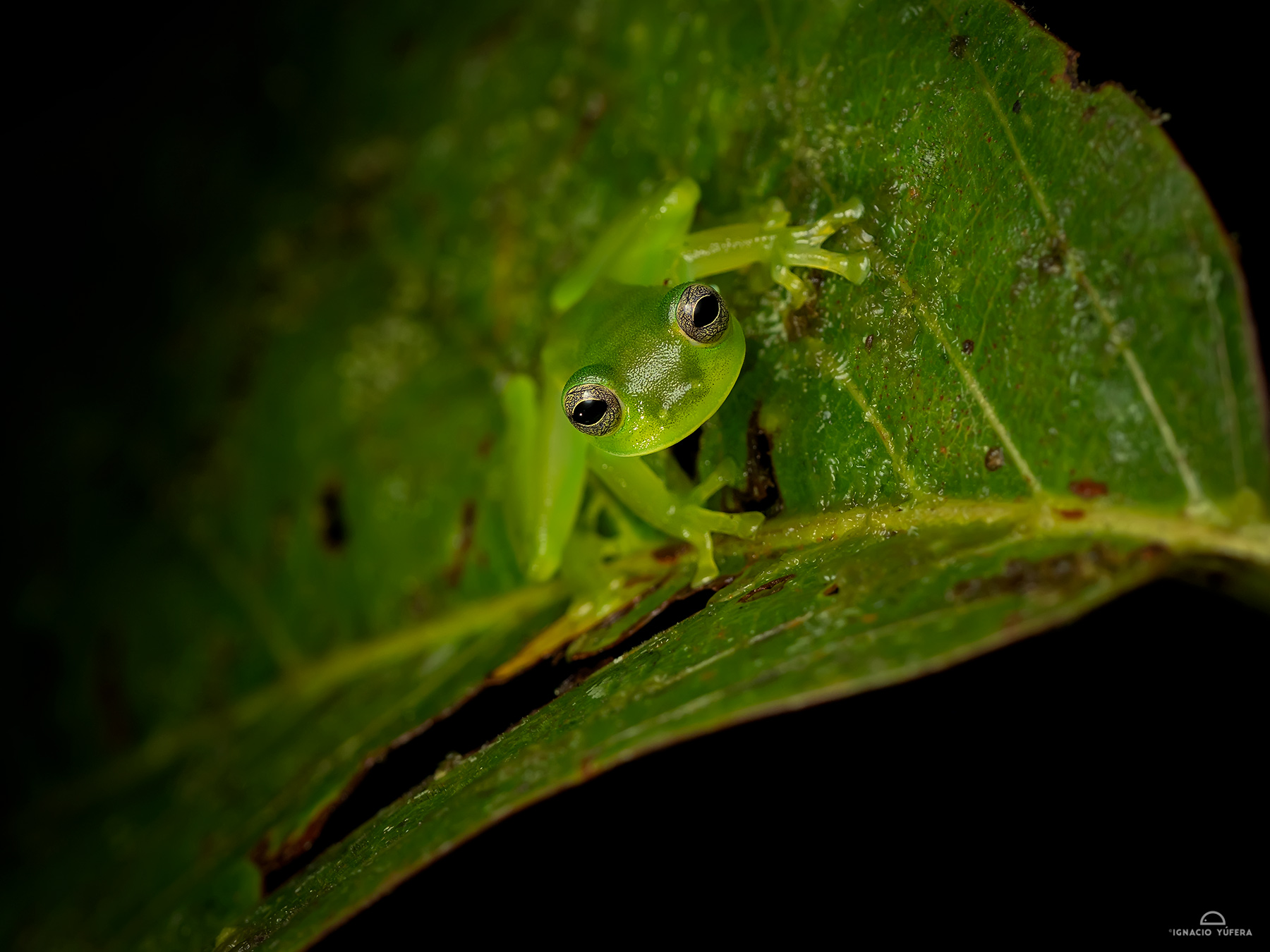 Dwarf Glass Frog (Cochranella spinosa), Fortuna, Panama, July