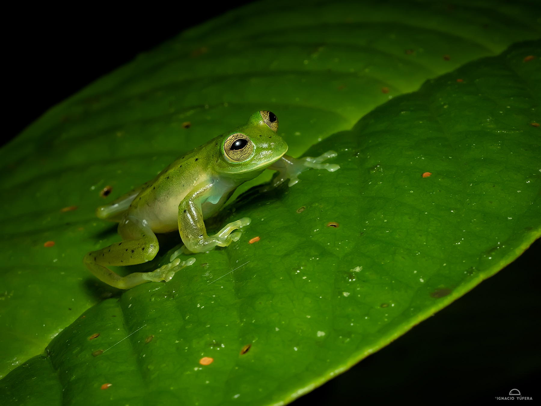 Emerald Glass Frog (Espadarana prosoblepon), Fortuna, Panama, June
