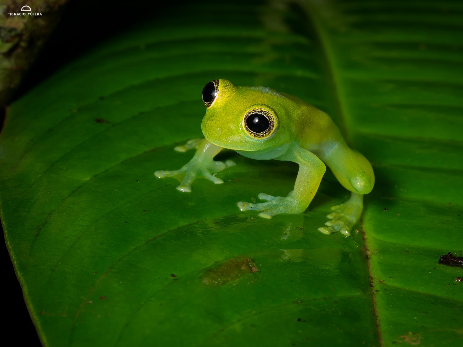 Dwarf Glass Frog (Cochranella spinosa), Nusagandi, Panama, July
