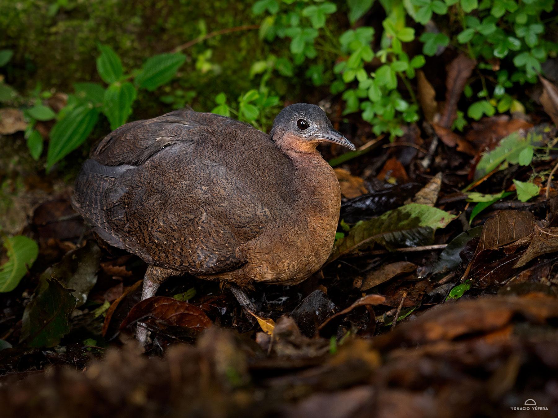 Highland Tinamou (Nothocercus bonapartei), Mount Totumas cloud forest reserve, Panama, June