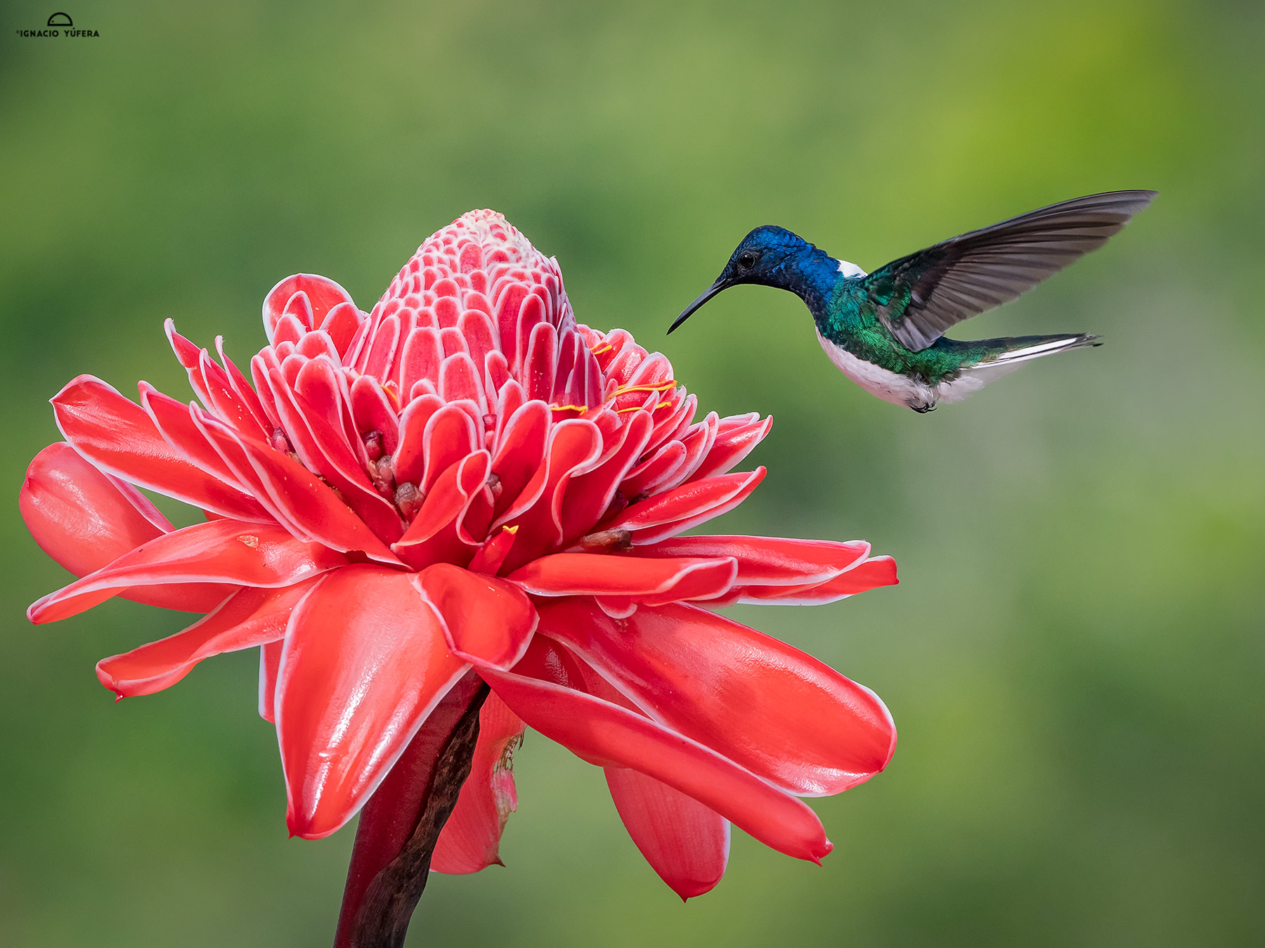 White-necked Jacobin (Florisuga mellivora), feeding on ginger torch flower nectar, Chiriquí, Panama