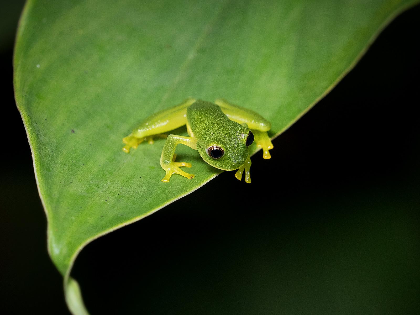 Magdalena Giant Glass-frog (Ikakogi tayrona), Sierra Nevada de Santa Marta, Colombia
