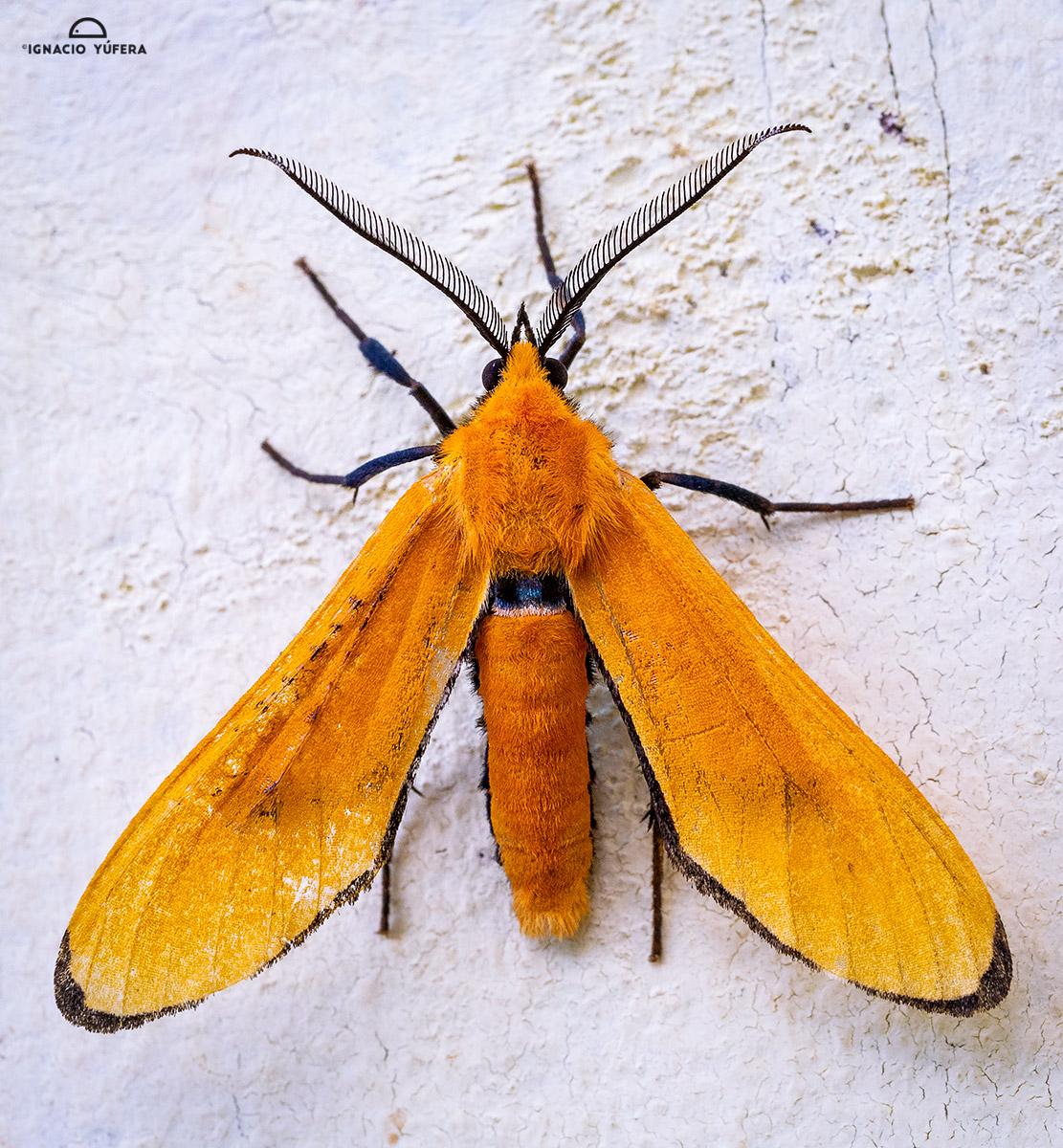 Orange moth (fam. Erebidae), Mount Totumas, Panama, June