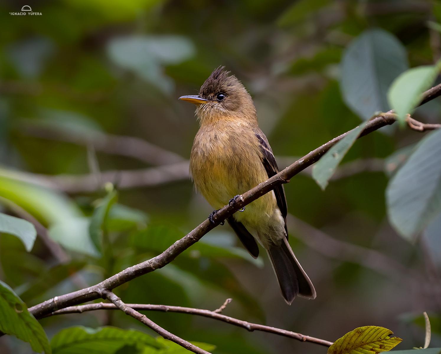Ochraceous Pewee (Contopus ochraceus), La Amistad National Park, Panama