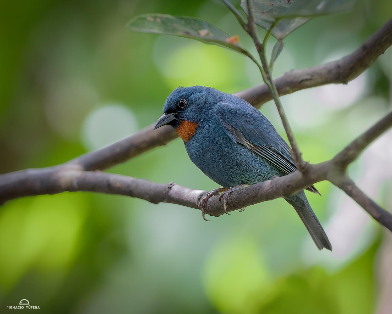 Orangequit (Euneornis campestris), Montego Bay, Jamaica