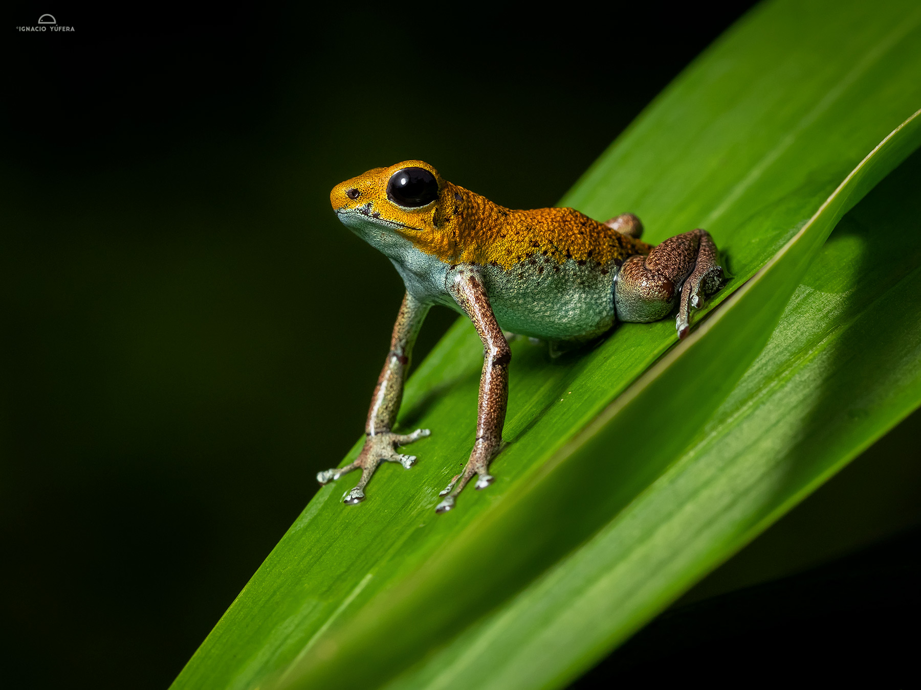 "Strawberry Poison Dart Frog (Oophaga pumilio), ""Bisira morph"", Fortuna, Panama"