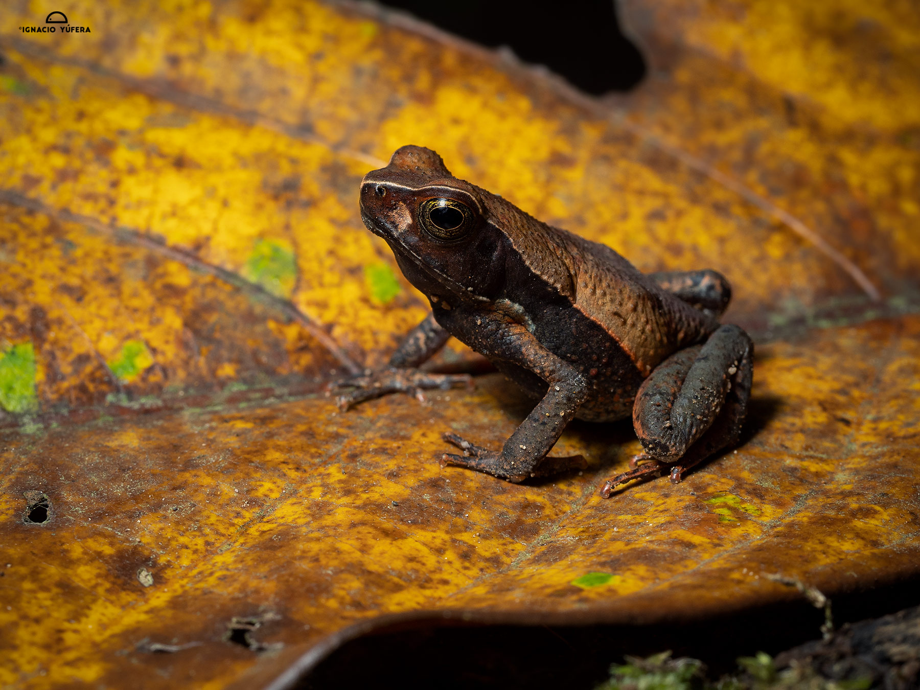 Litter Toad (Rhaebo haematiticus), Fortuna, Panama, June