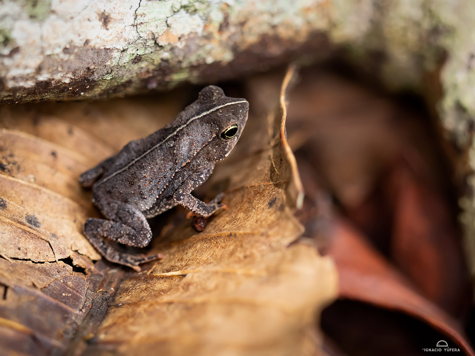 Leaf-litter toad (Rhinella alata), Gamboa, Panama, April