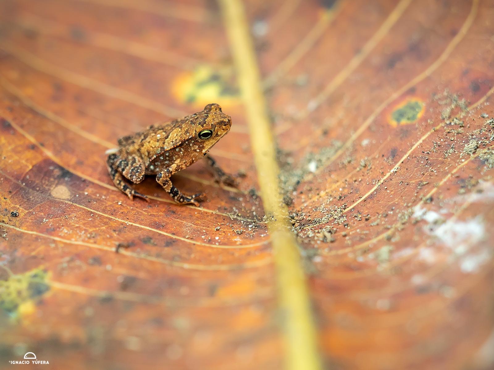 Leaf-litter toad (Rhinella alata), Gamboa, Panama, April