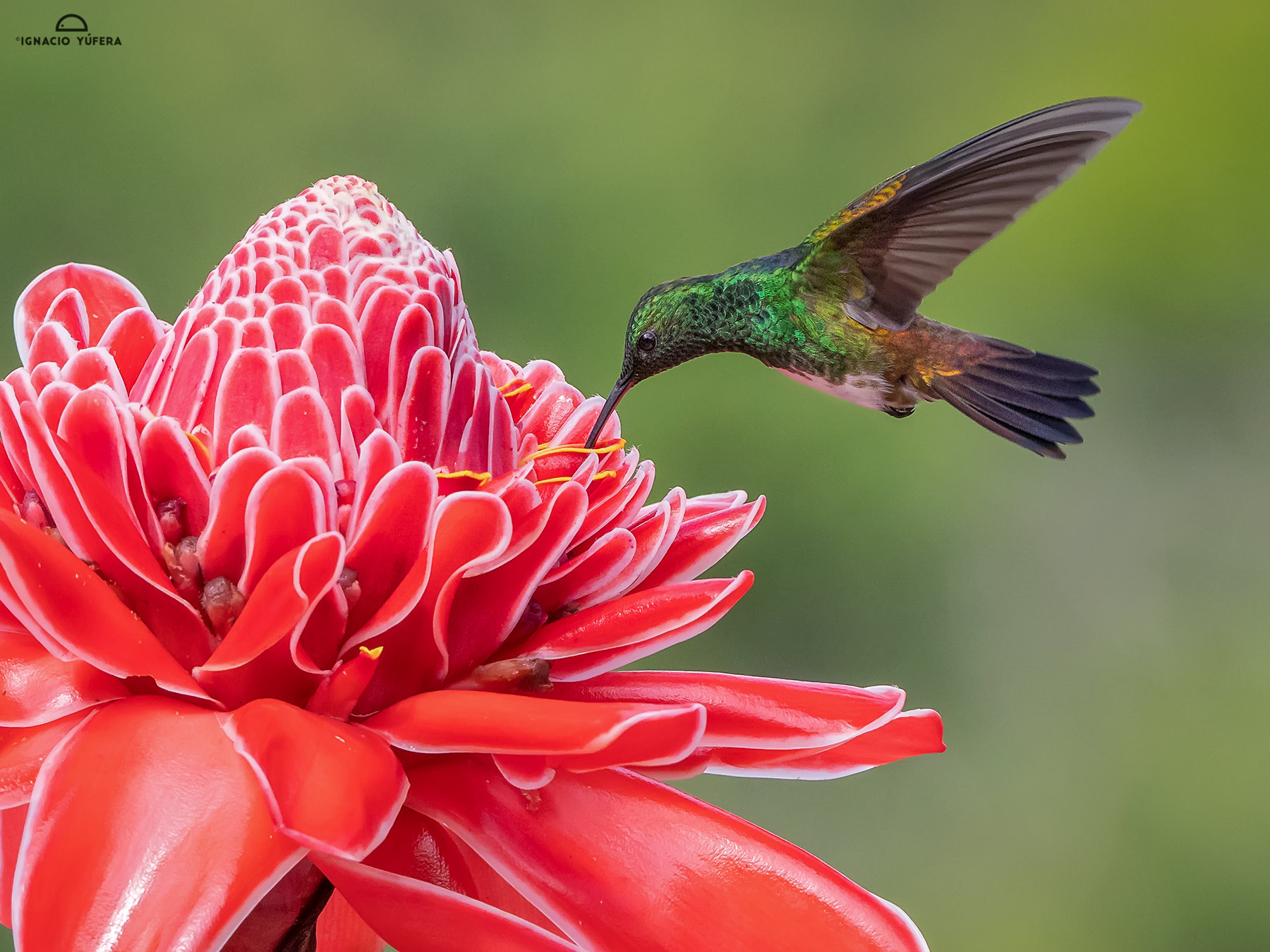 Snowy-bellied hummingbird (Amazilia edward), male feeding on torch ginger flower, Chiriquí, Panama, July