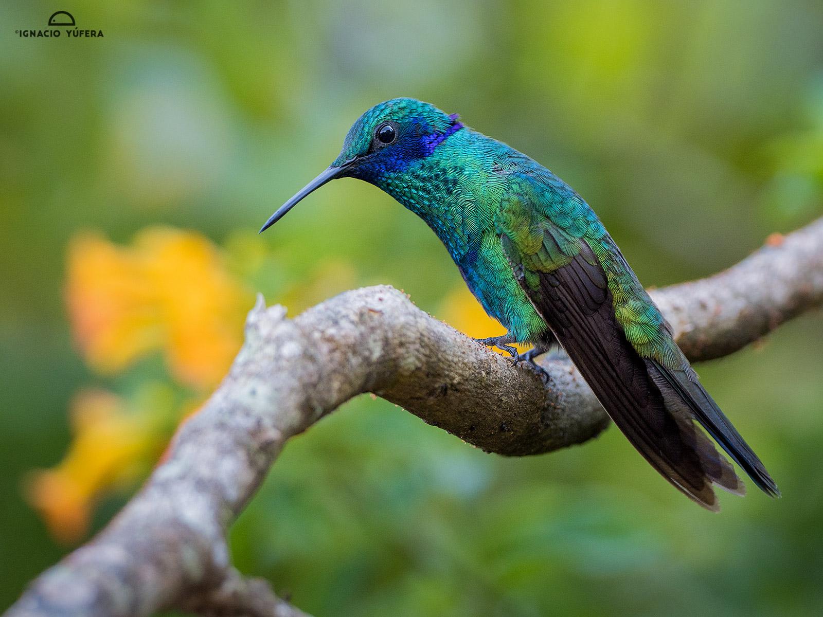 Sparkling Violetear (Colibri coruscans), Santa Marta, Colombia