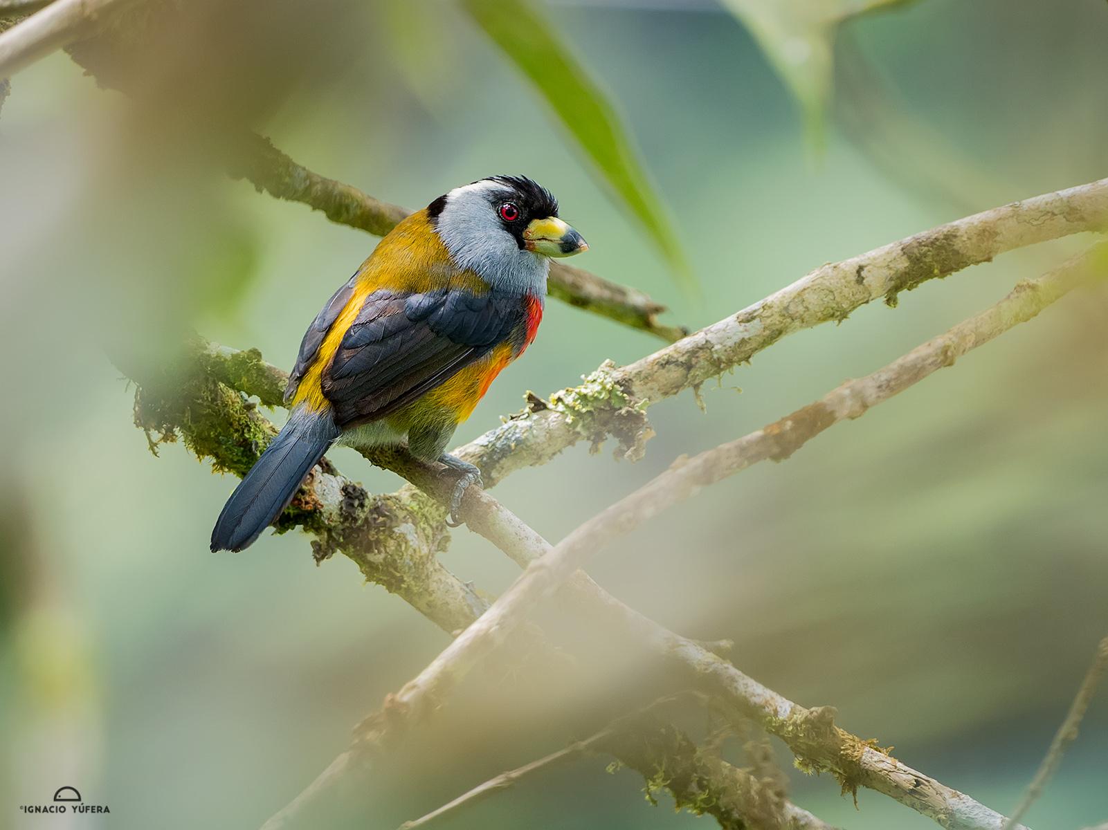 Toucan-barbet-2