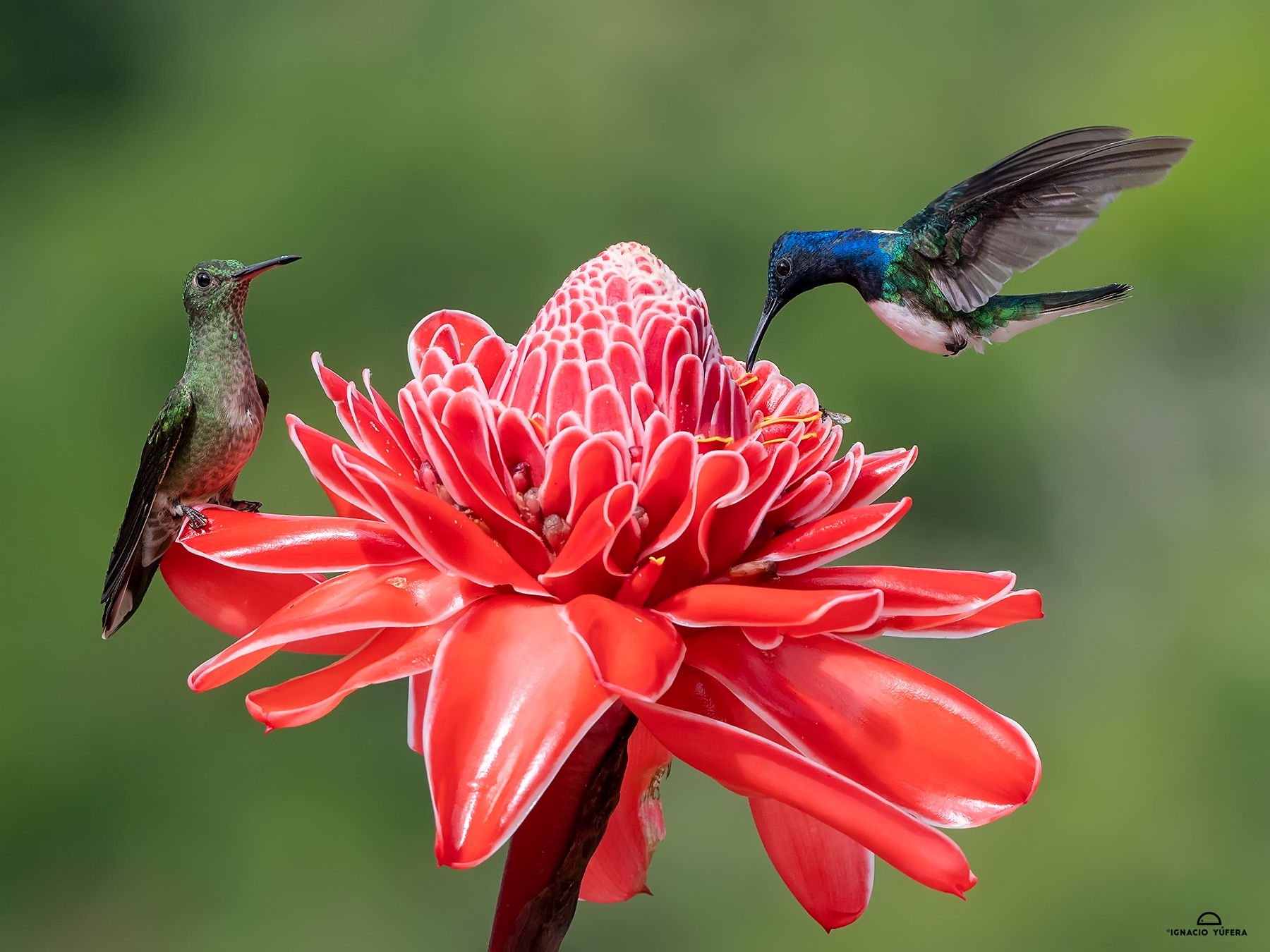 Scaly-breasted Hummingbird (Phaeochroa cuvierii) and White-necked Jacobin (Florisuga mellivora) on ginger torch flower, Chiriquí, Panama