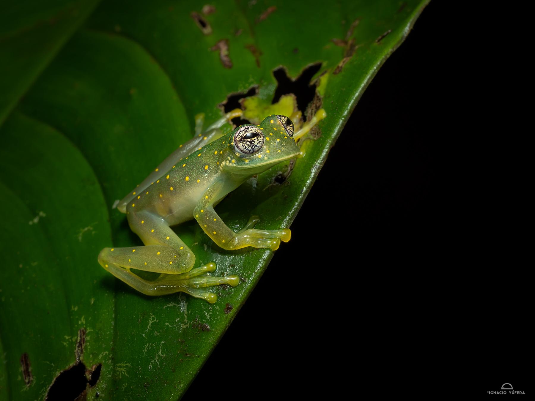Cascade Glass Frog (Sachatamia albomaculata), Nusagandi, Panama, July