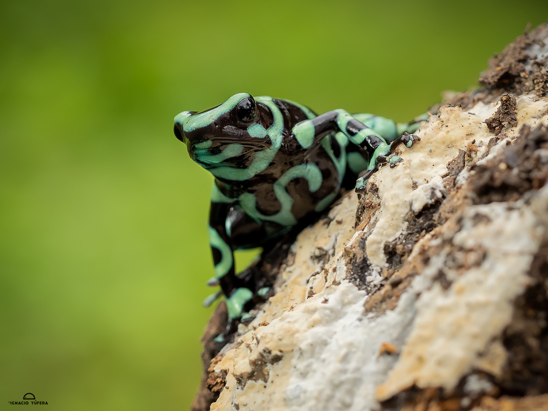 Green-and-black Poison Dart Frog (Dendrobates auratus), Fortuna, Panama, June