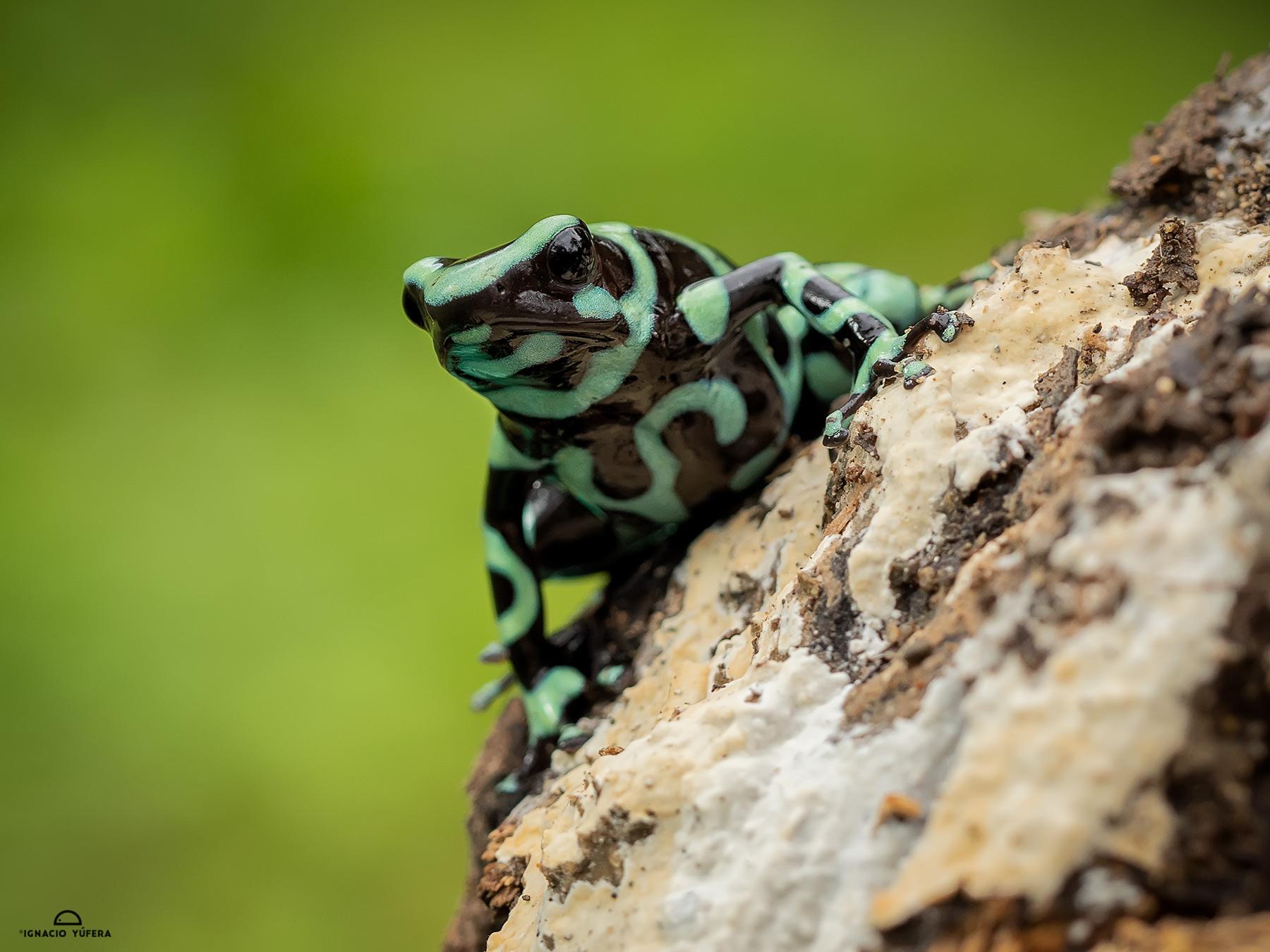 Green-and-black Poison Dart Frog (Dendrobates auratus), Fortuna, Panama, June