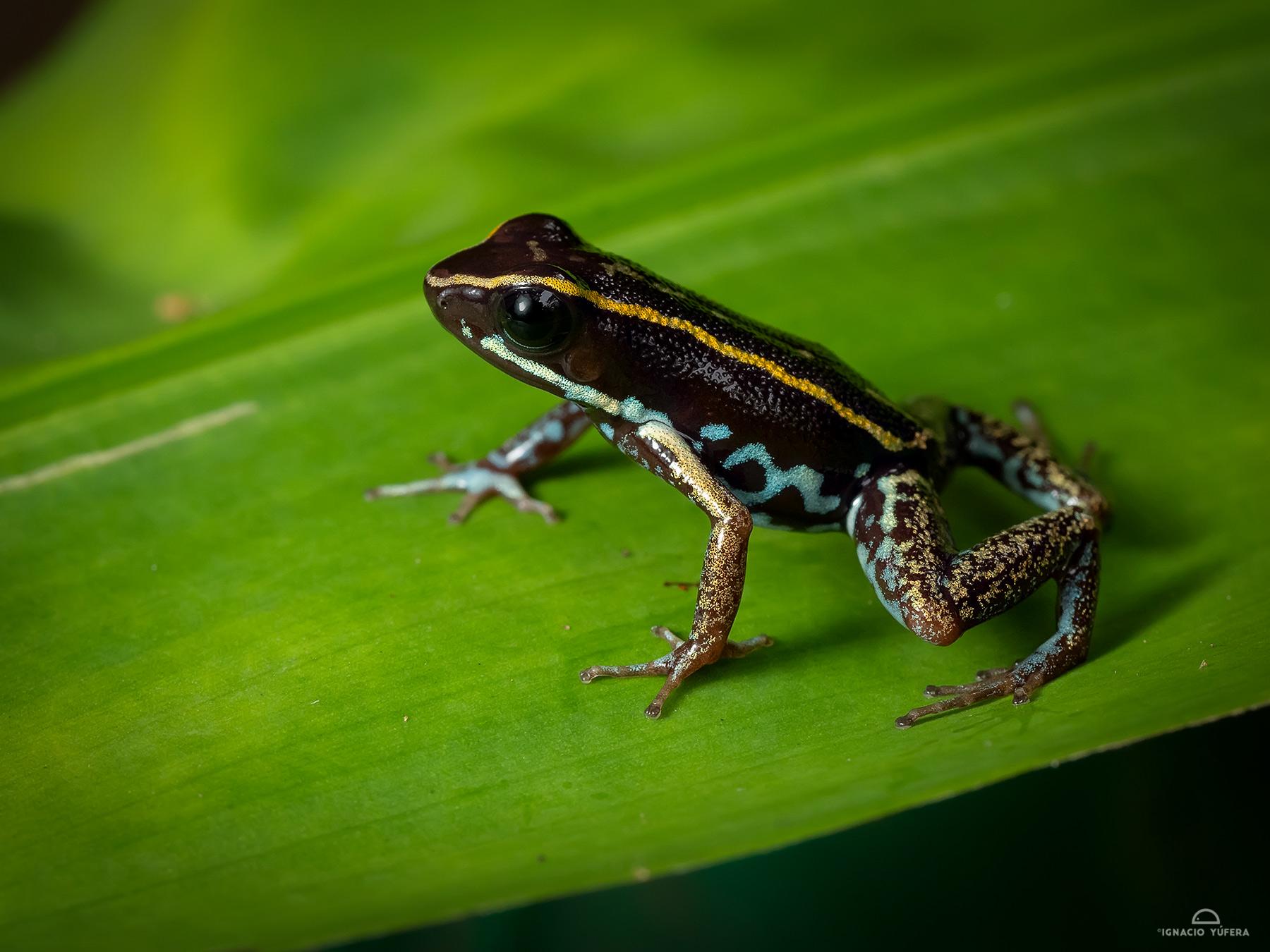 Lovely Poison Dart Frog (Phyllobates lugubris), Fortuna, Panama, June