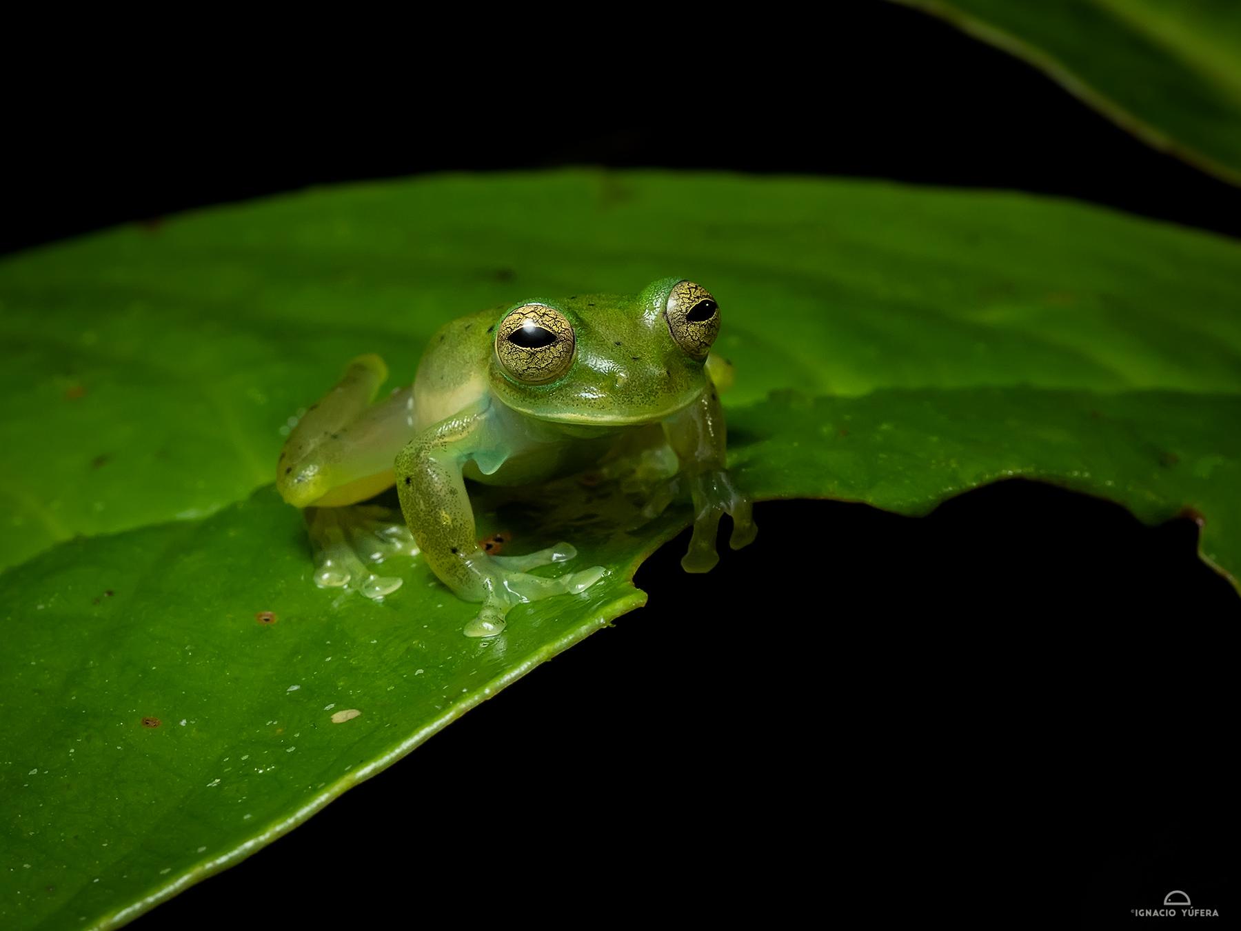 Emerald Glass Frog (Espadarana prosoblepon), Fortuna, Panama, June