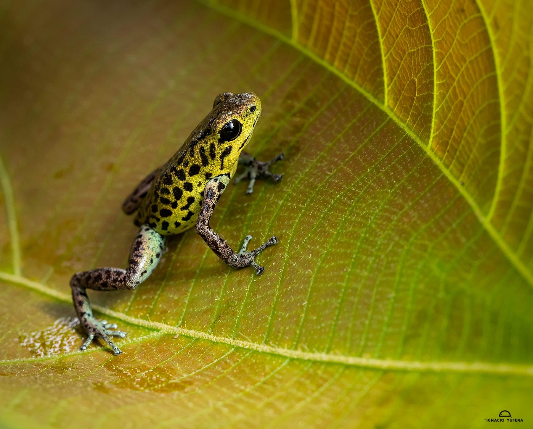 "Strawberry Poison Dart Frog (Oophaga pumilio), ""Guabo morph"", Fortuna, Panama"