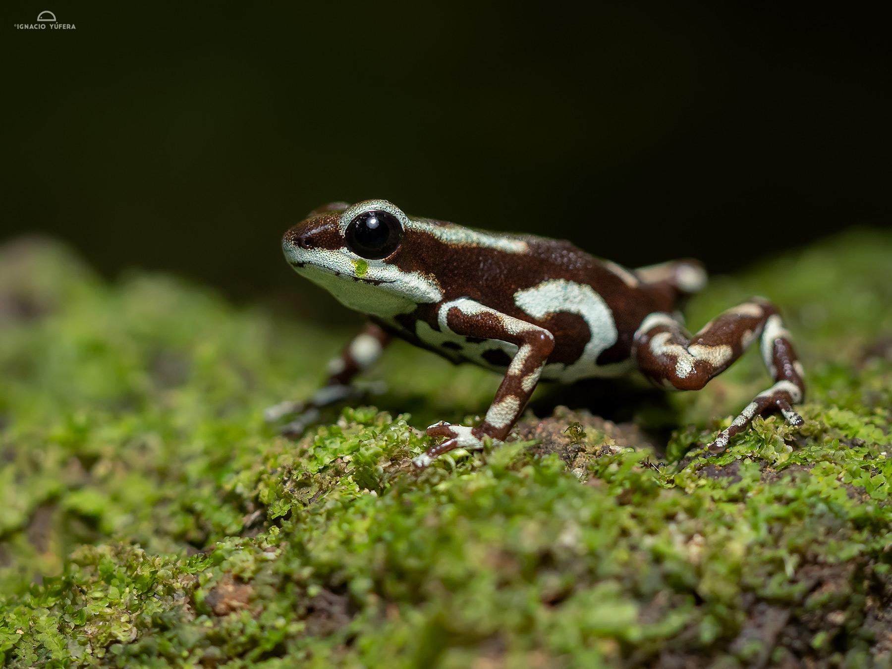 "Strawberry Poison Dart Frog (Oophaga pumilio), ""Robalo morph"", Fortuna, Panama"