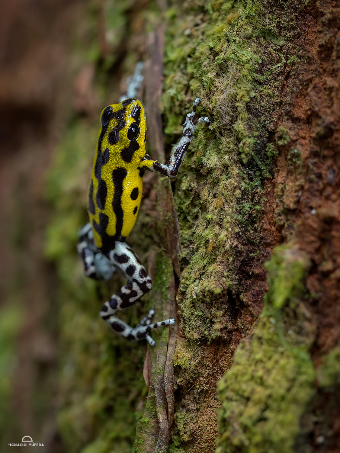 "Strawberry Poison Dart Frog (Oophaga pumilio), ""Guarumo morph"", Fortuna, Panama"