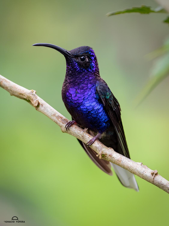 Violet Sabrewing (Campylopterus hemileucurus), male, Mount Totumas cloudforest reserve, Panama, June