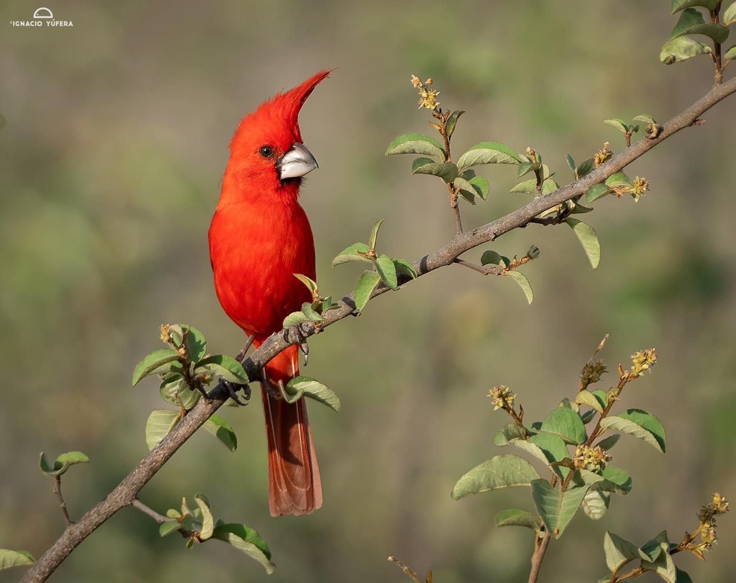 Vermilion Cardinal (Cardinalis phoeniceus), male, La Guajira, Colombia