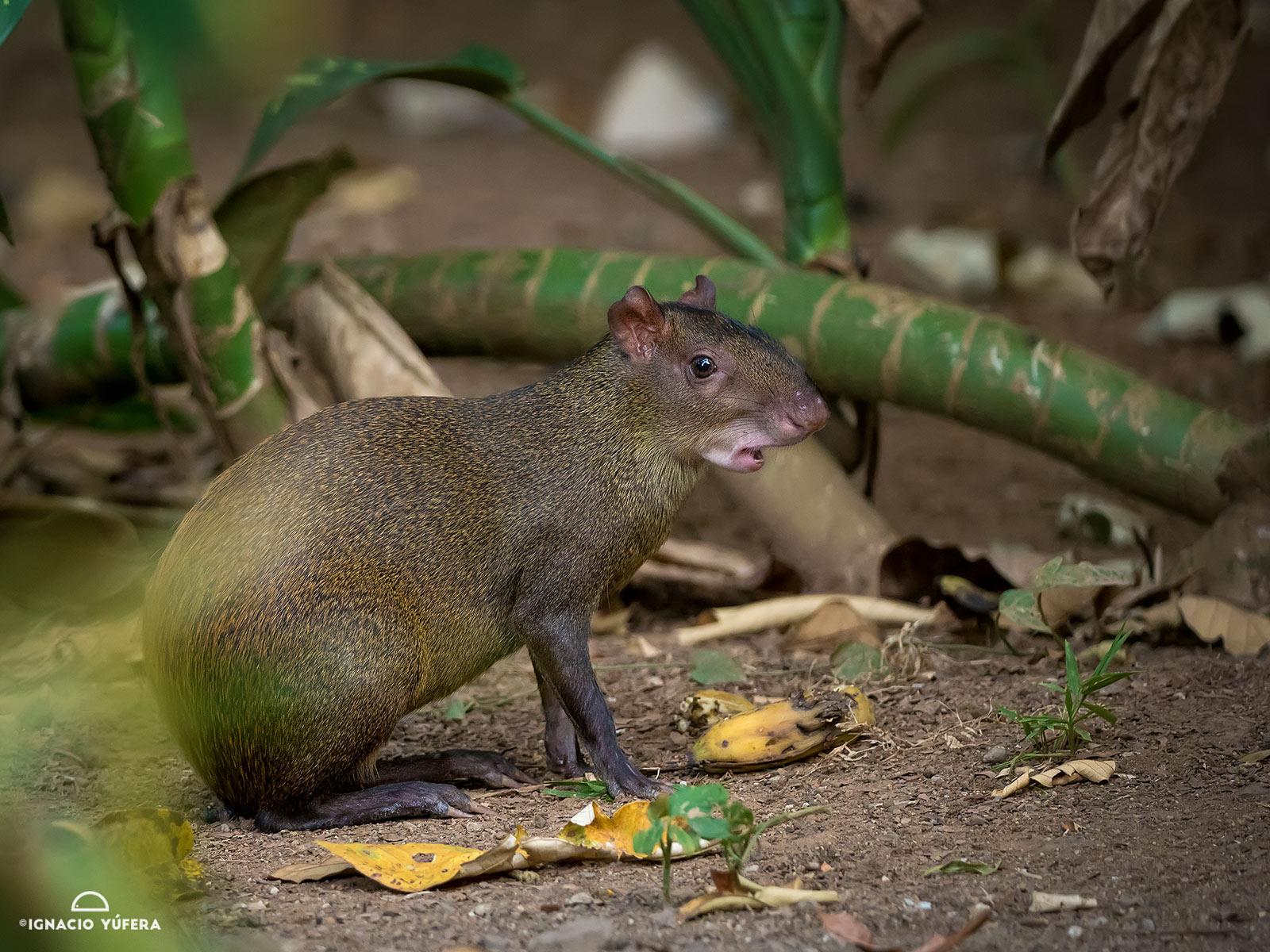 Central American Agouti (Dasyprocta punctata)