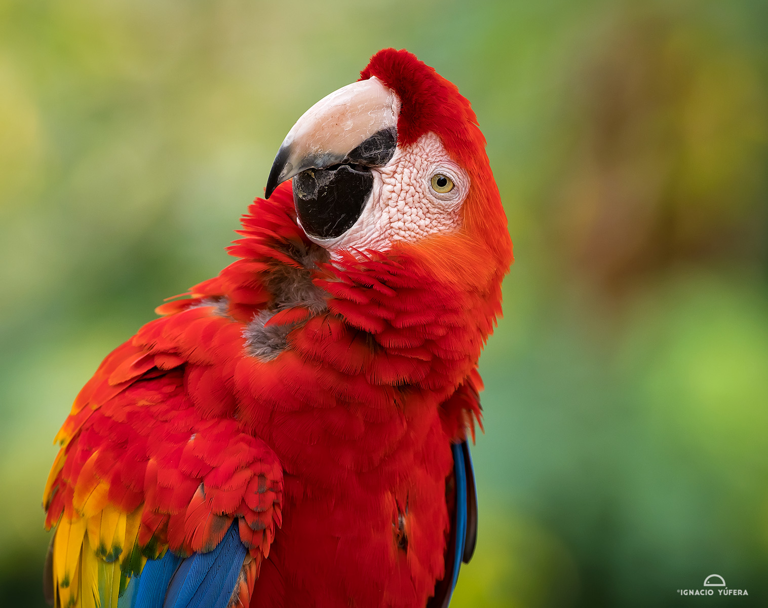 Scarlet Macaw (Ara macao), Colombia