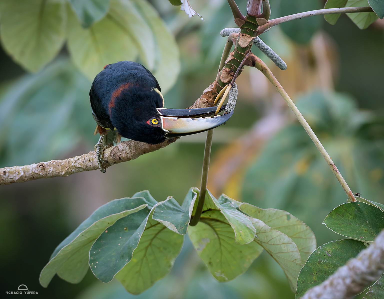 Collared aracari (Pteroglossus torquatus), Panama