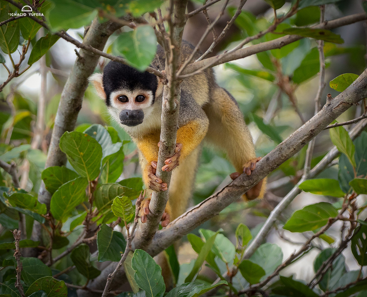 Black-headed Squirrel Monkey (Saimiri vanzolinii), Mamirauá reserve, Amazonas, Brazil