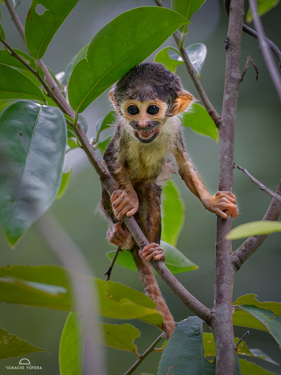 Black-headed Squirrel Monkey (Saimiri vanzolinii), infant, Mamirauá reserve, Amazonas, Brazil
