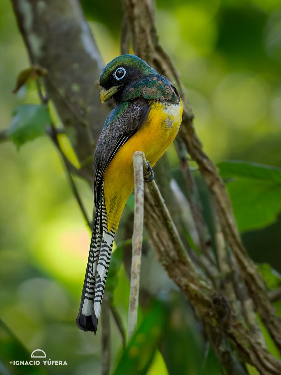 Black-throated Trogon (Trogon rufus), Gamboa, Panama