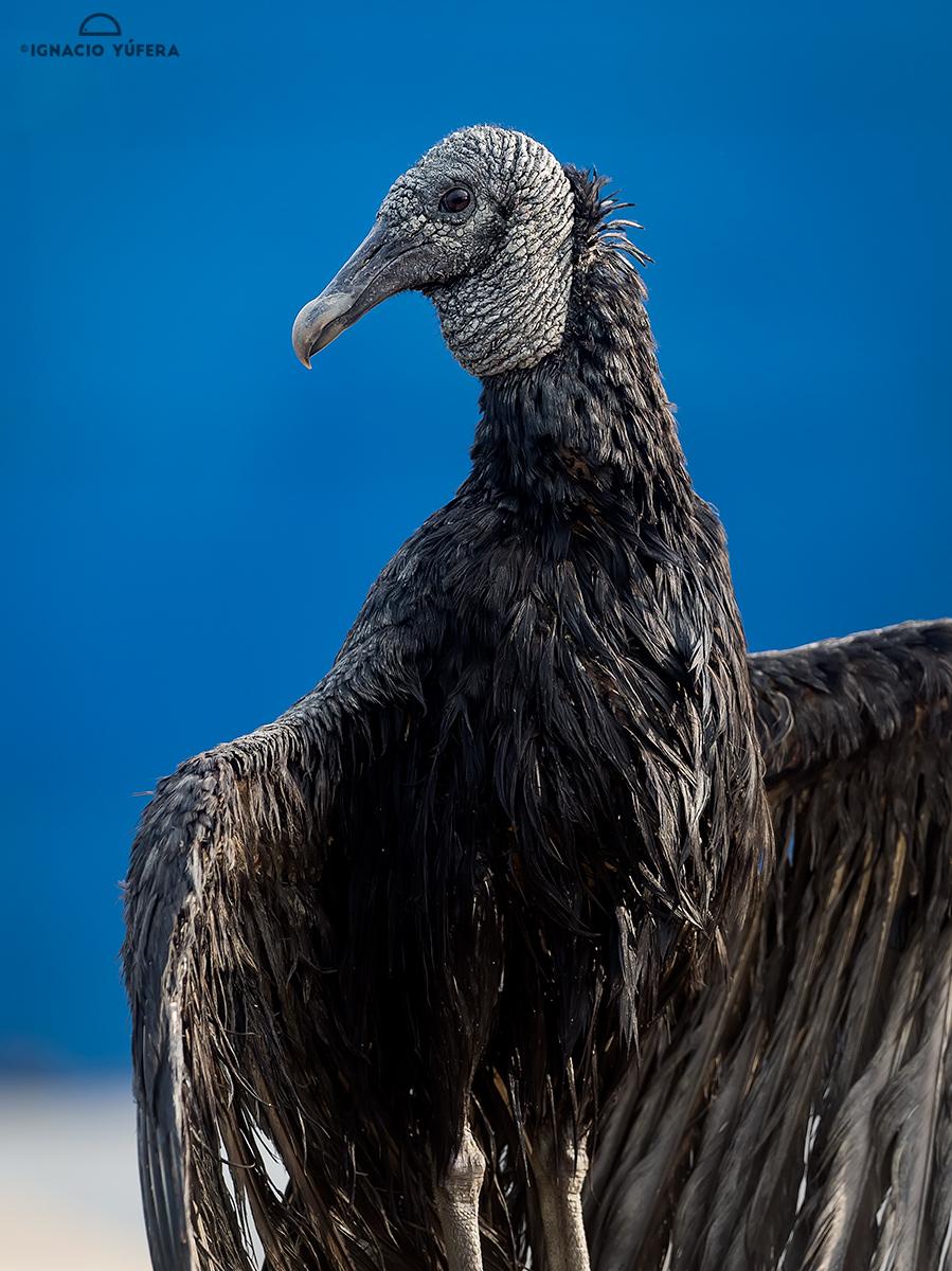 Black Vulture (Coragyps atratus), Panama City