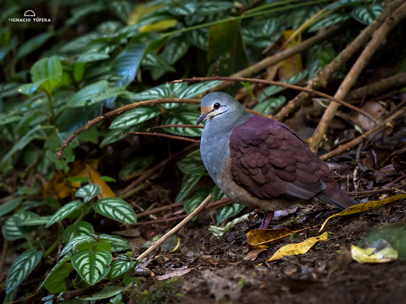 Buff-fronted Quail-dove (Geotrygon costaricensis), Chiriquí highlands, Panama