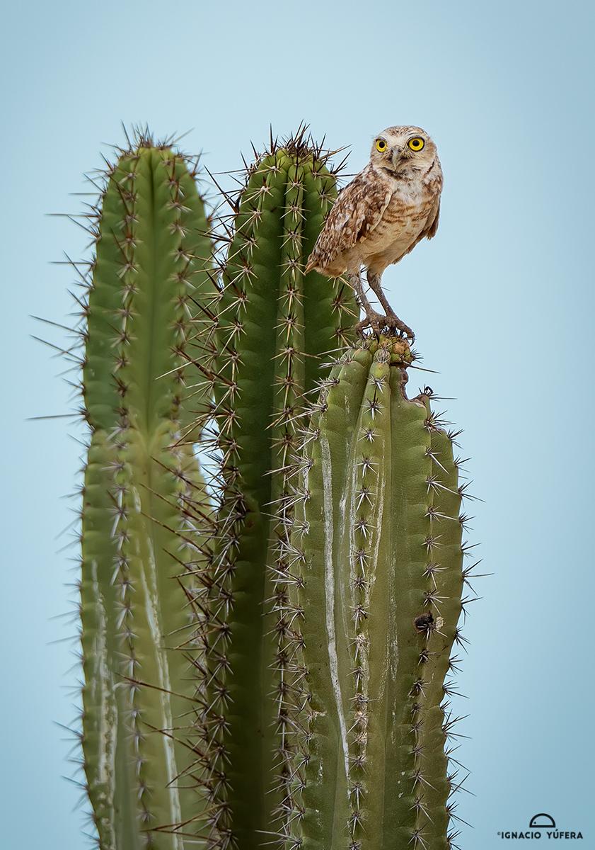 Burrowing Owl (Athene cunicularia), La Guajira, Colombia