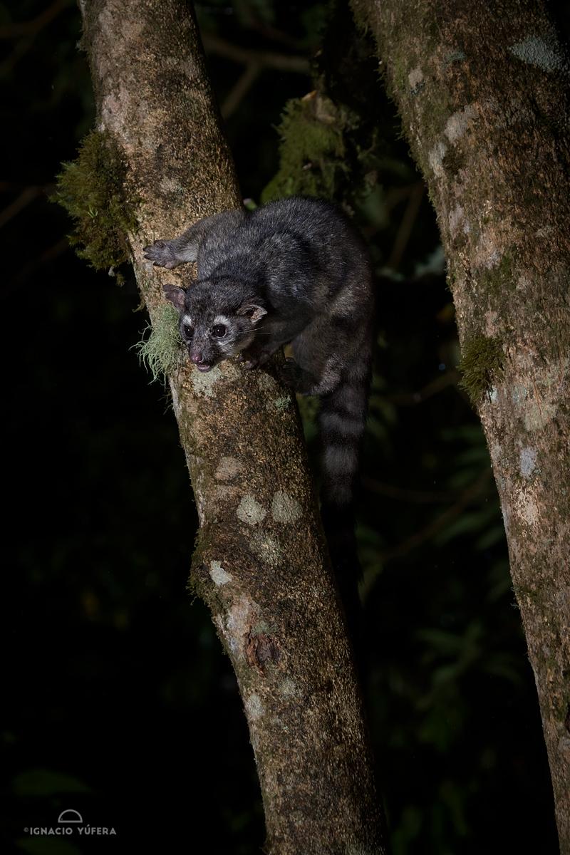 Central American Cacomistle (Bassariscus sumichrasti), Chiriquí, Panama