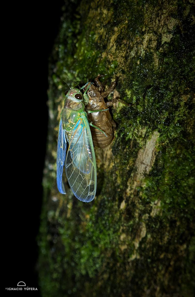 Cicada emerging from nymph exoskeleton, Valle de Antón, Panama