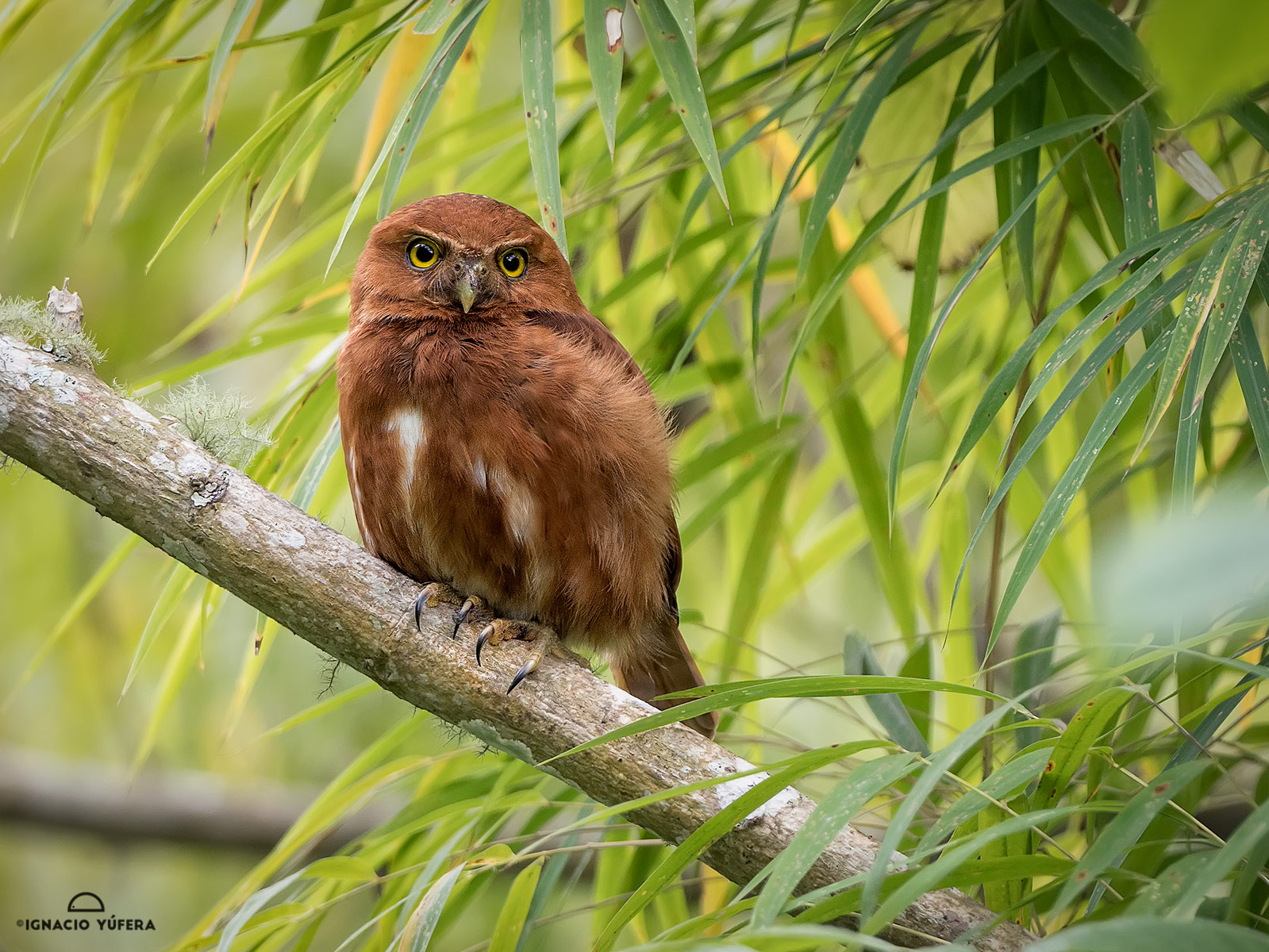 Costa Rican Pigmy Owl