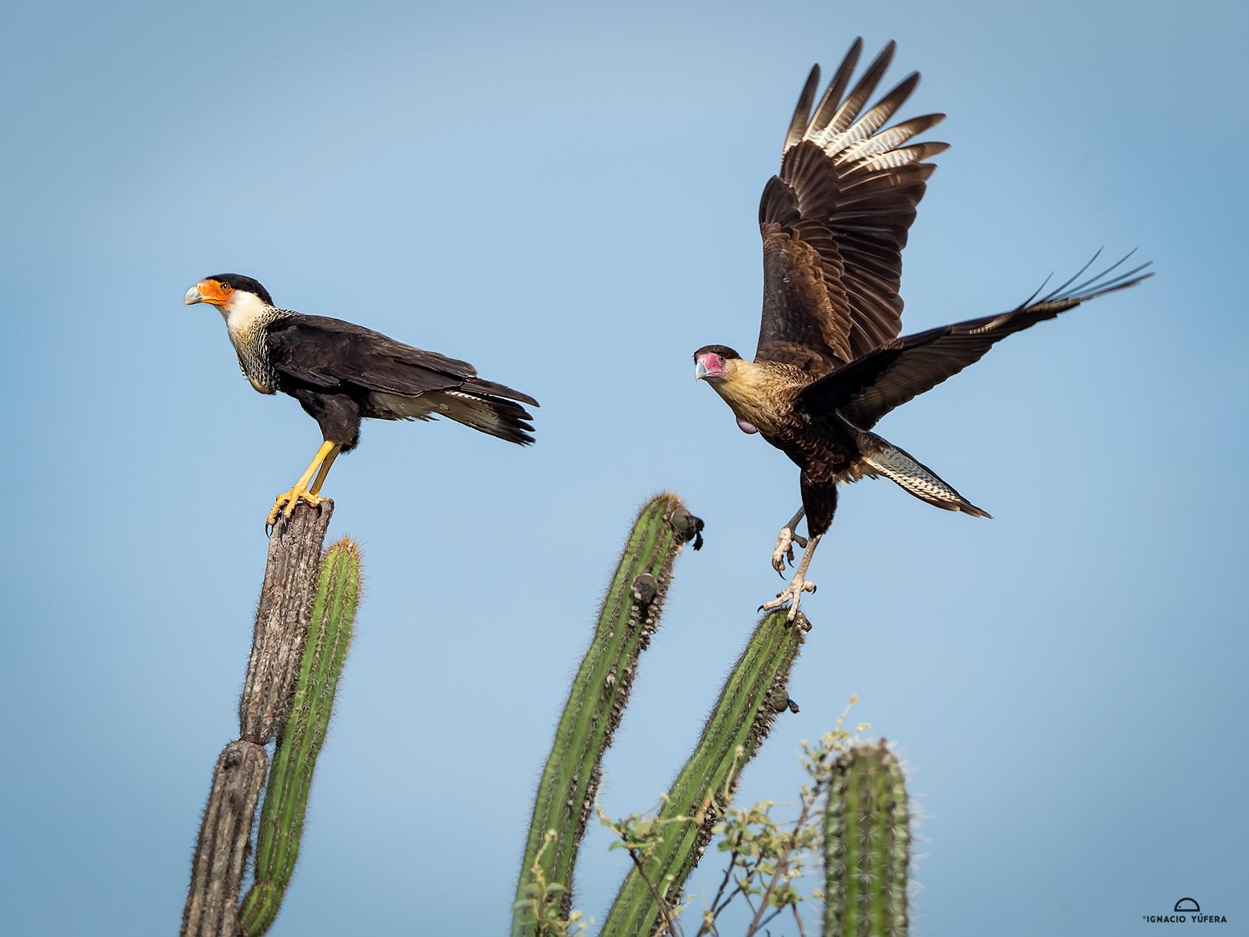 Crested Caracara (Caracara cheriguay), adult and juvenile, La Guajira, Colombia