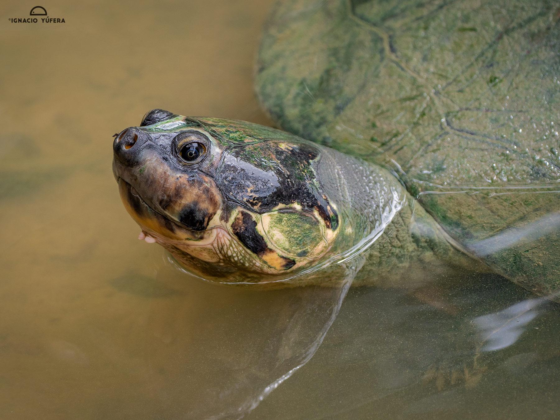 Arrau turtle (Podocnemys expansa), adult, Amazonas, Brazil