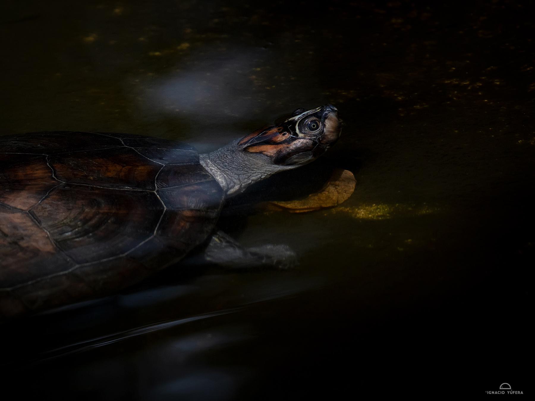 Arrau turtle (Podocnemys expansa), semi-adult, Amazonas, Brazil