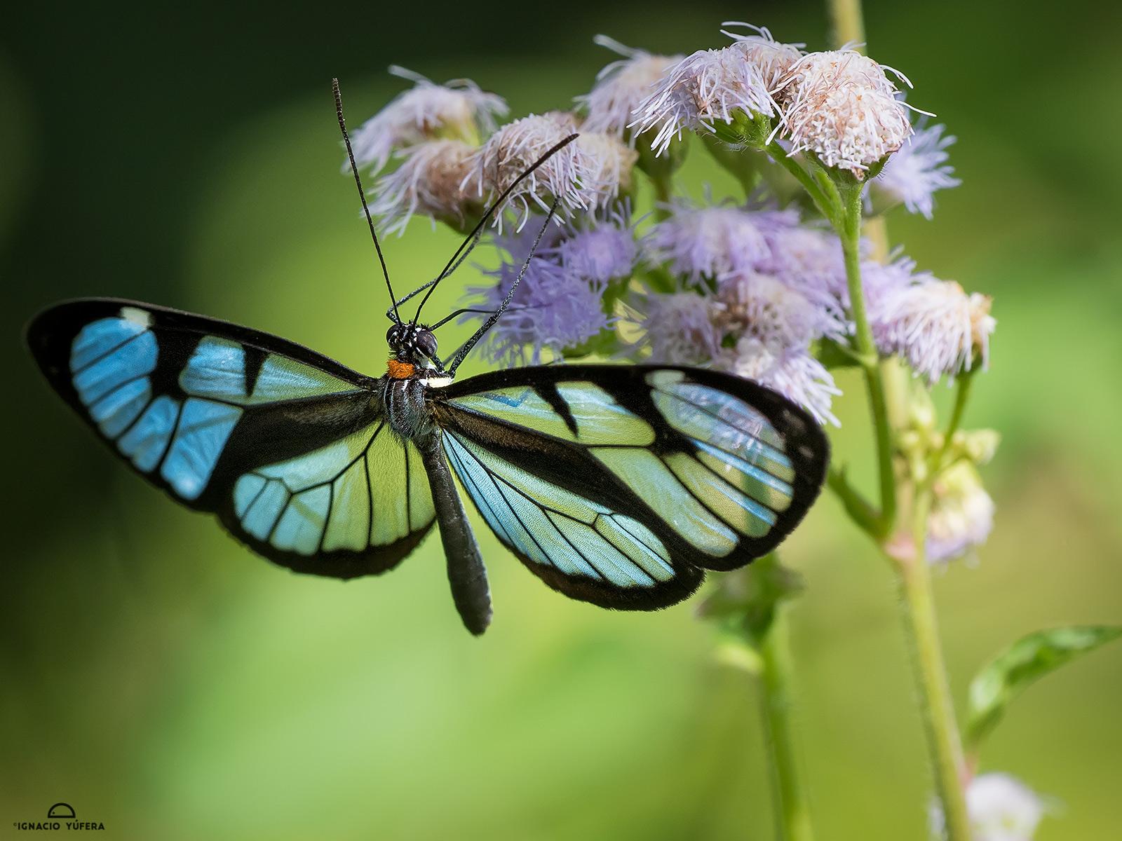 Glaswing butterfly (Ithomia diasia hippocrenis), Cerro Azul, Panama