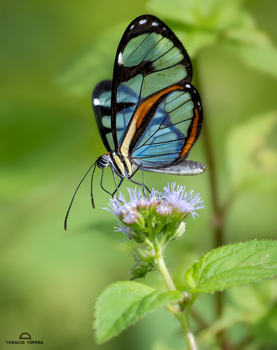 Glasswing butterfly (Ithomia diasia hippocrenis)